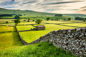 Dry-stone walls and barns in Wensleydale, Yorkshire Dales National Park, North Yorkshire, England, UK, June 2016. - Guy Edwardes