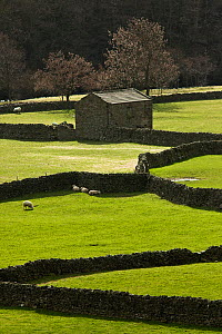 Stone Barn and Dry stone walls, Gunnerside, Swaledale, North Yorkshire, England, UK, March 2009. - Guy Edwardes