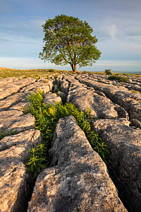 Limestone Pavement at Malham, Yorkshire Dales National Park, North Yorkshire, England, UK. June 2017 - Guy Edwardes