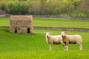 Two lambs in Wensleydale, Yorkshire Dales National Park, North Yorkshire, England, UK, May.. May 2015 - Guy Edwardes