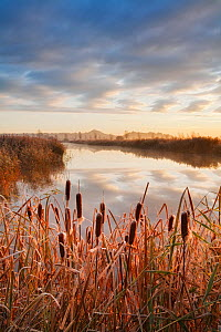 Great reedmace (Typha latifolia) at sunrise, with Glastonbury Tor in the background, Somerset Levels, England, UK, November 2007. - Guy Edwardes
