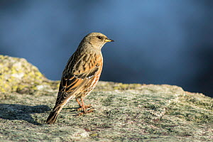 Alpine accentor (Prunella collaris) Poland, September  -  Guy Edwardes