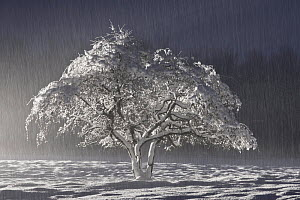Snow covered tree, Northumberland, England. November 2010 - Guy Edwardes