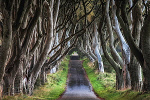 The Dark Hedges, Stranocum, Co. Antrim, Northern Ireland, September 2010.  -  Guy Edwardes