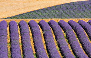 Lavender fields, Plateau de Valensole, Provence, France. July 2008  -  Guy Edwardes