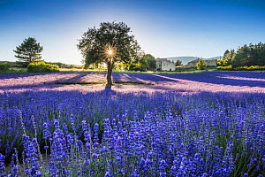 Lavender fields at sunset, Aurel, Provence, France, July 2016.  -  Guy Edwardes