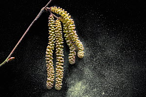 Common hazel (Corylus avellana) close up of male catkins dispersing pollen in early spring, Belgium, February - Philippe Clement