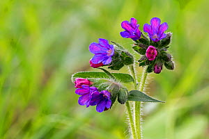 Mountain lungwort (Pulmonaria montana) in flower, La Brenne, France, April - Philippe Clement