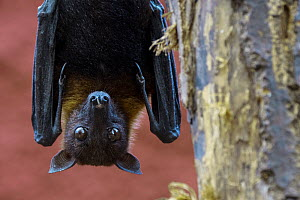 Lyle's flying fox (Pteropus lylei) male hanging upside down from hind feet in tree, captive, occurs in Cambodia, Thailand and Vietnam,  -  Philippe Clement