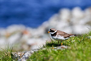 Common ringed plover (Charadrius hiaticula) in breeding plumage in spring, Shetland Islands, Scotland, UK, May  -  Philippe Clement