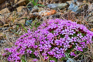 Moss campion (Silene acaulis) in flower, Keen of Hamar, Unst, Shetland Islands, Scotland, UK, May  -  Philippe Clement
