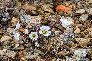 Shetland Mouse-eared Chickweed (Cerastium nigrescens) in flower, Keen of Hamar, Unst, Shetland Islands, Scotland, UK, May  -  Philippe Clement