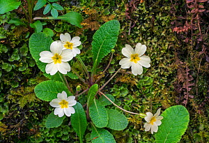 Common primrose / English primrose (Primula vulgaris) in flower on moss covered rock in spring, Scotland, UK, May  -  Philippe Clement