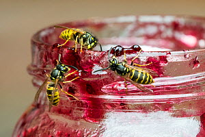 Three common wasps (Vespula vulgaris), eating from open jar of jam in summer  -  Philippe Clement