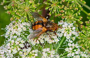 Parasite fly / tachinid fly (Tachina fera) feeding on nectar from Hogweed (Heracleum sphondylium) in summer, France. August. - Philippe Clement