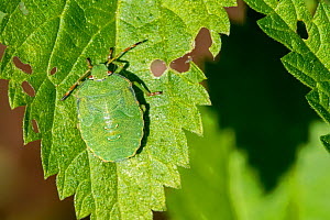 Green shield bug (Palomena prasina) nymph on leaf showing camouflage colours, France, August  -  Philippe Clement