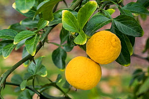 Japanese bitter-orange (Poncirus trifoliata / Citrus trifoliata) citrus fruit in tree, October - Philippe Clement
