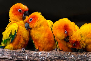 Sun parakeets / conures (Aratinga solstitialis) group perched on branch and preening each other, South America, captive - Philippe Clement