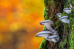 Oyster mushroom / Oyster bracket fungus (Pleurotus ostreatus) growing on tree trunk in autumn forest, Belgium, October  -  Philippe Clement