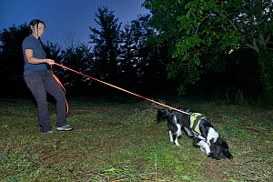 Sniffer dog Freya with Nikki Glover of Wessex Water hunting for Great crested newts (Triturus cristatus) in a meadow after dark, Somerset, UK, September 2018. Model released.  -  Nick Upton