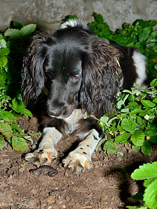 Sniffer dog Freya sitting and looking at a Great crested newt (Triturus cristatus) she found in a flowerbed after dark during a training exercise, Somerset, UK, September 2018.  -  Nick Upton