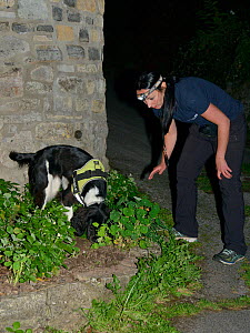 Sniffer dog Freya with Nikki Glover of Wessex Water hunting for Great crested newts (Triturus cristatus) in a flower bed after dark, Somerset, UK, September 2018. Model released.  -  Nick Upton