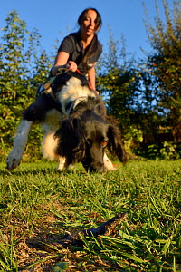 Nikki Glover of Wessex Water with sniffer dog Freya hunting for a Great crested newt (Triturus cristatus) placed on a lawn during a training exercise, Somerset, UK, September 2018. Model released. - Nick Upton
