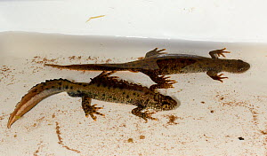 Male and female Great crested newts (Triturus cristatus) found during a nocturnal survey at a dew pond renovated by the Mendip Ponds Project, near Cheddar, Somerset, UK, April 2018.  -  Nick Upton