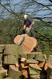 Tree surgeon sawing up the trunk of a big Deodar cedar tree (Cedrus deodara) uprooted in a storm, Wiltshire UK, April. Model released.  -  Nick Upton