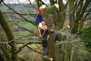 Tree surgeon cutting branches of a Deodar cedar tree (Cedrus deodara) uprooted in a storm, Wiltshire UK, March. Model released.  -  Nick Upton