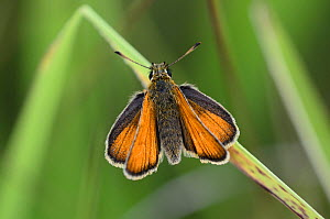 Small skipper butterfly (Thymelicus sylvestris) butterfly at rest. Dorset, UK, July. - Colin Varndell