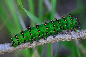 Emperor moth (Saturnia pavonia) caterpillar. Dorset, UK July.  -  Colin Varndell