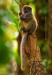 Bamboo lemur (Hapalmur griseus) sitting on tree stump. Andasibe-Mantadia National Park, Madagascar. - Sandesh  Kadur