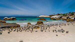 African / Jackass penguin (Spheniscus demersus) colony on beach. Cape Town, South Africa. January 2018. - Sandesh  Kadur