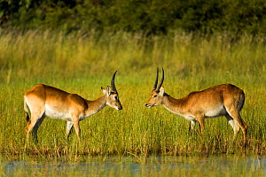 Southern lechwe (Kobus leche), two males about to fight, facing each other. Okavango Delta, Botswana. - Sandesh  Kadur