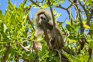 Olive / Anubis baboon (Papio anubis) feeding whilst sitting in tree. Tanzania. - Sandesh  Kadur