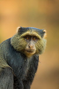 Blue monkey (Cercopithecus mitis) portrait. Lake Manyara National Park, Tanzania. - Sandesh  Kadur