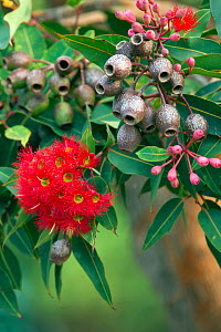 Gum tree (Corymbia sp), gumnuts and red flowers (Genus Corymbia). Kangaroo Island, South Australia.  -  Steven David Miller