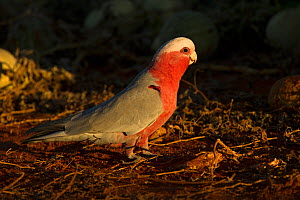 Galah / Pink and grey parrot (Eolophus roseicapilla) male foraging on Paddy melons in evening light. Watarrka National Park, Northern Territory, Australia.  -  Steven David Miller