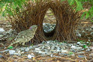 Great bowerbird (Chlamydera nuchalis) male tending to bower decorated with green and white objects. Lake Argyle, Kununurra, Western Australia.  -  Steven David Miller