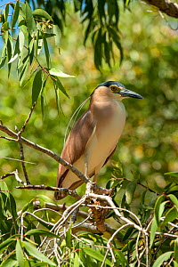 Nankeen / Rufous night heron (Nycticorax caledonicus) perched in Eucalyptus tree. North Queensland, Australia. - Steven David Miller