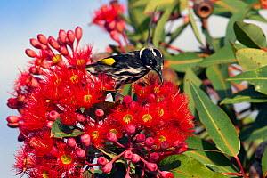 New Holland honeyeater (Phylidonyris novaehollandiae) feeding on red flowers of Eucalyptus. Kangaroo Island, South Australia.  -  Steven David Miller