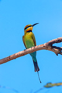 Rainbow bee-eater (Merops ornatus) resting on branch between foraging flights. Kununurra, Western Australia. - Steven David Miller