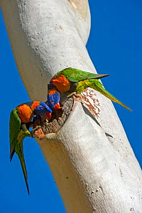 Red-collared lorikeet (Trichoglossus rubritorquis) pair examining hole in Eucalyptus as a potential nesting hollow. Katherine, Northern Territory, Australia. - Steven David Miller