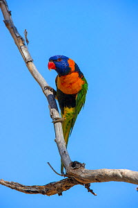 Red-collared lorikeet (Trichoglossus rubritorquis) perched on branch. Katherine, Northern Territory, Australia. - Steven David Miller