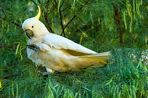 Sulphur-crested cockatoo (Cacatua galerita) feeding on seedpods in Flax wattle (Acacia linifolia) tree. Lane Cove National Park, Sydney, New South Wales, Australia.  -  Steven David Miller