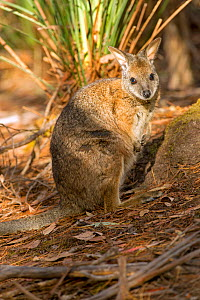 Tammar wallaby (Macropus eugenii) near Flinders Chase National Park, South Australia.  -  Steven David Miller