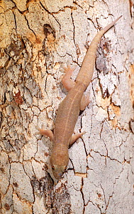 Top end dtella gecko (Gehyra australis) camouflaged against tree bark. Lake Argyle, near Kununurra, Western Australia. - Steven David Miller