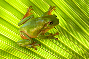 Australian green tree frog (Litoria caerulea) camouflaged on Palm leaf. Lake Argyle, Kununurra, Western Australia. - Steven David Miller