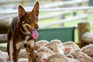 Australian kelpie standing on flock of sheep, watching drover intently after herding. Lone Pine Koala Sanctuary, Fig Tree Pocket, Brisbane in Queensland, Australia. - Steven David Miller